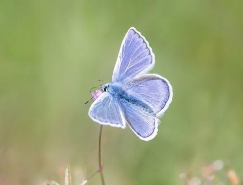 marielyst blåfugl