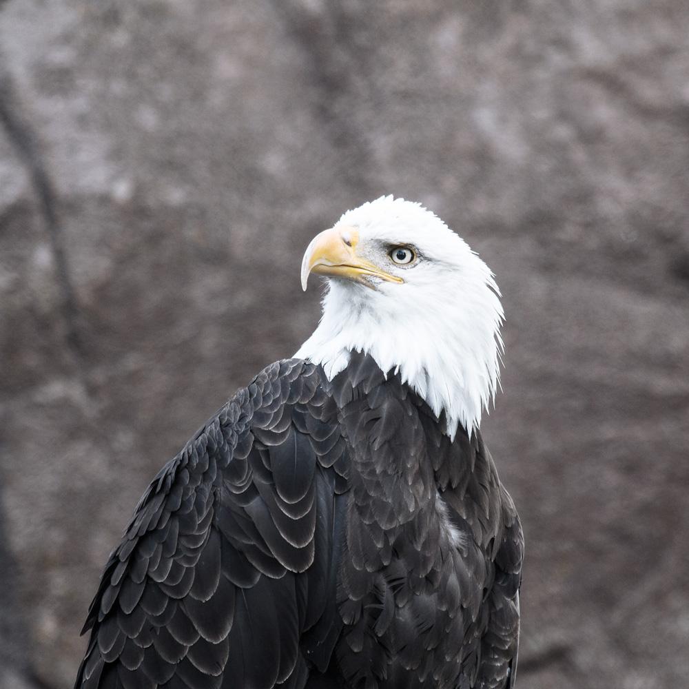 yellowstone bald eagle