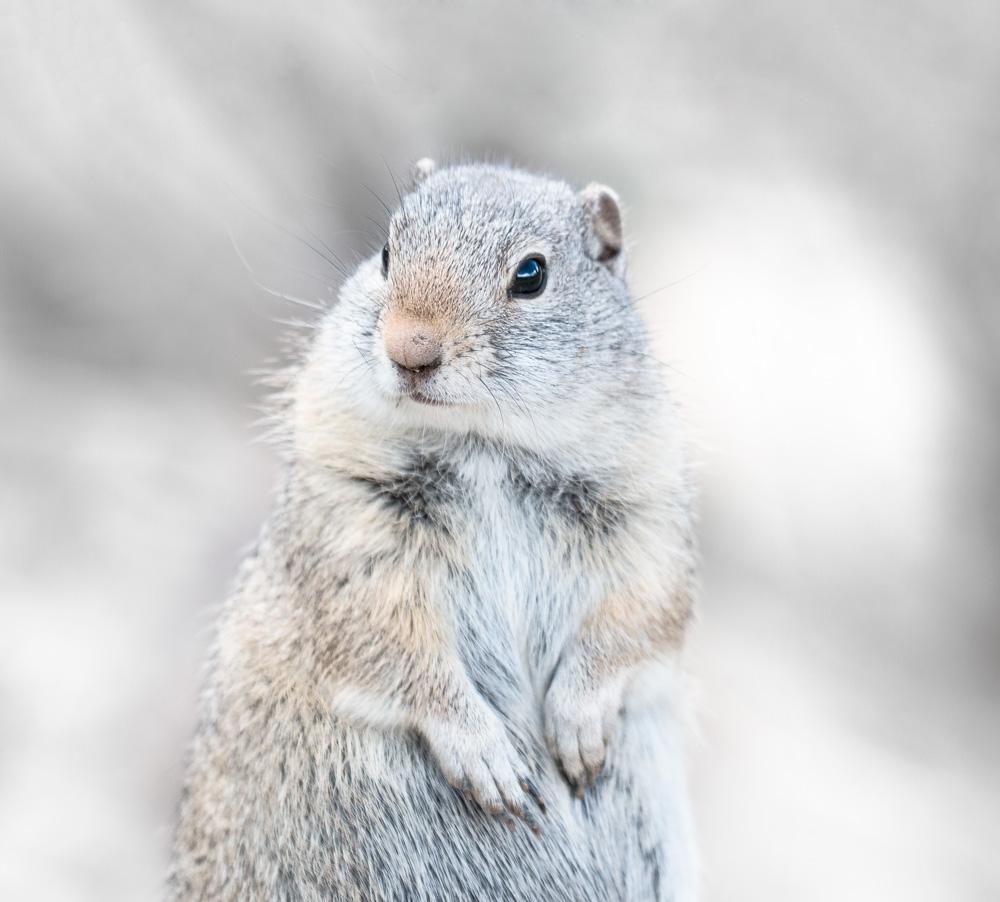 yellowstone ground squirrel