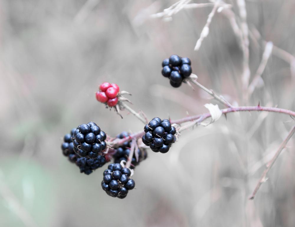 kullaberg blackberries