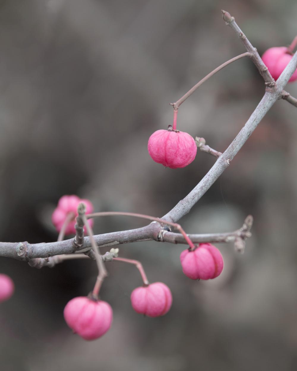 kullaberg pink flowers