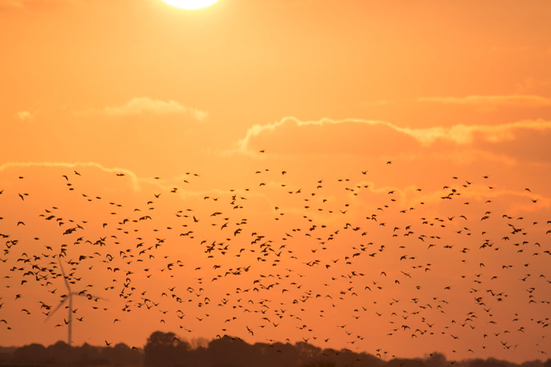 Where to see starling murmuration in southern Denmark