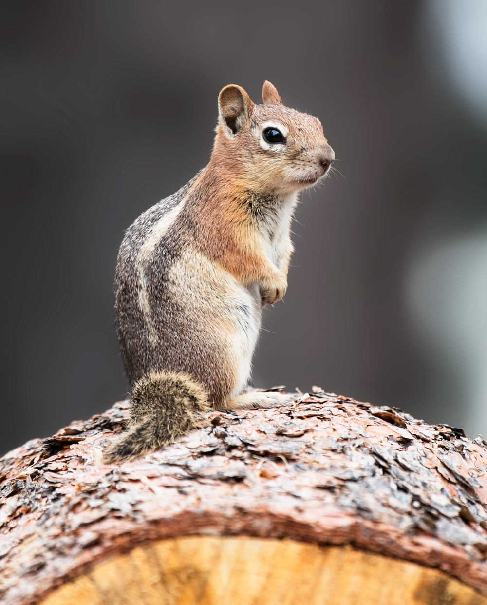 bryce canyon chipmunk