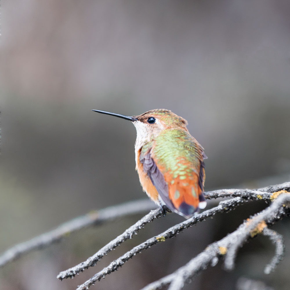 bryce canyon hummingbird