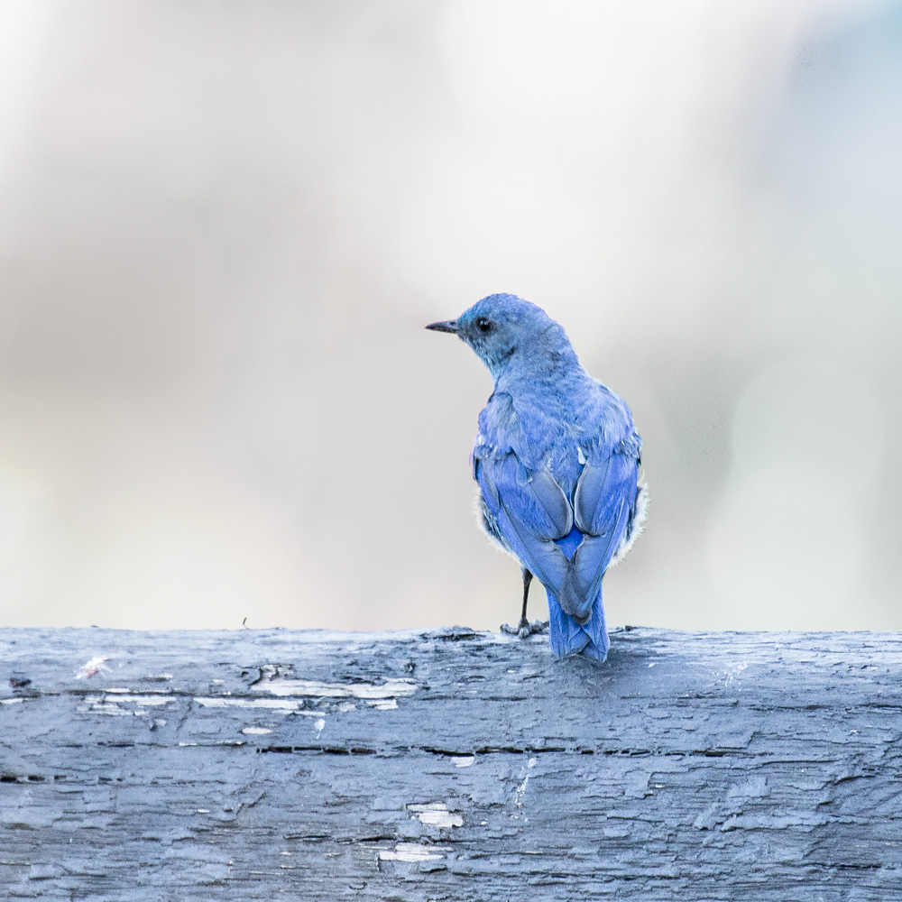 grand-teton-blue-bird