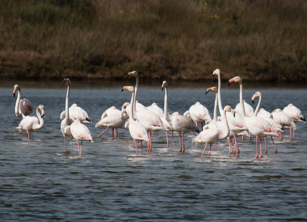 Ria Formosa - looking for flamingos on the Algarve Coast