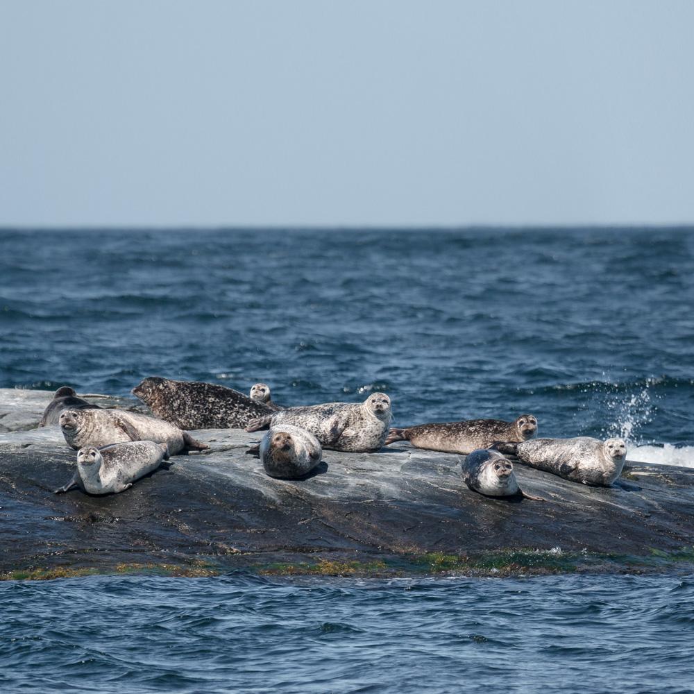 Hallands Väderö - razorbills, seals and swedish archipelago