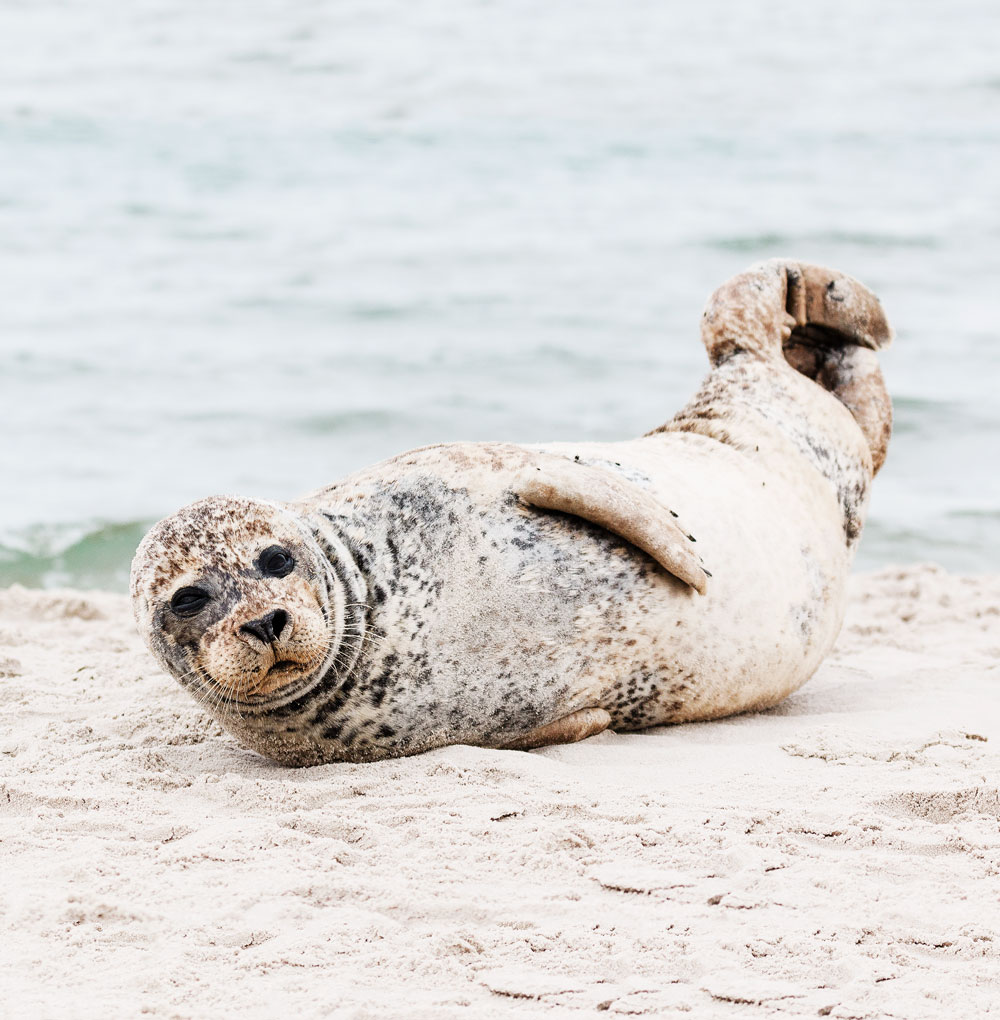 spot seals at Grenen in Skagen