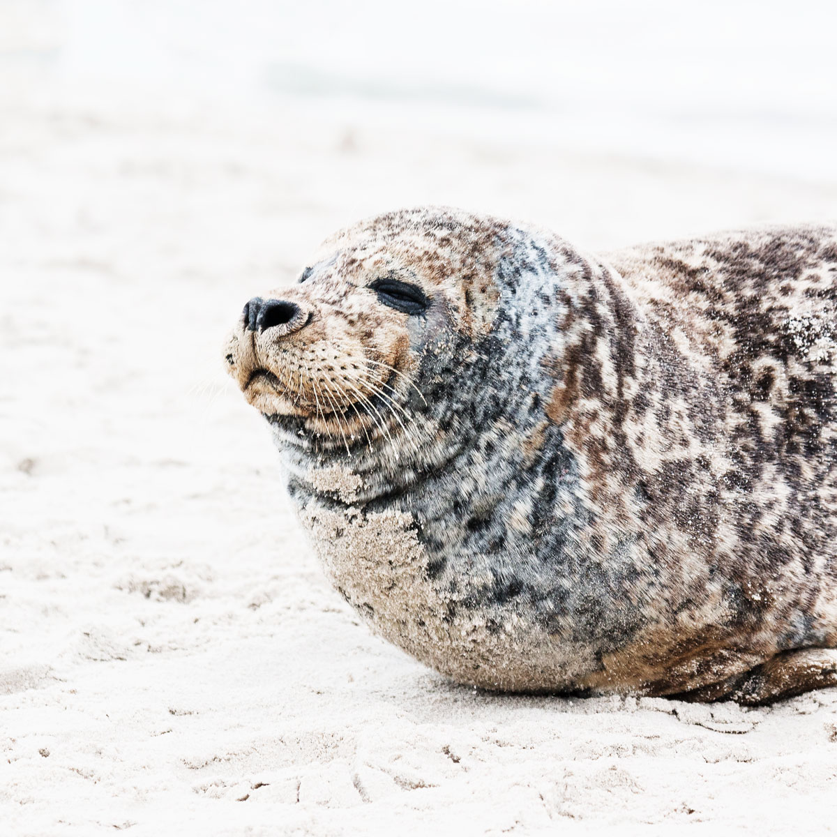 Spot wild seals in Denmark at Grenen, Skagen