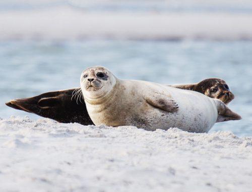 Falsterbo: Sæler i Måkläppen naturreservat