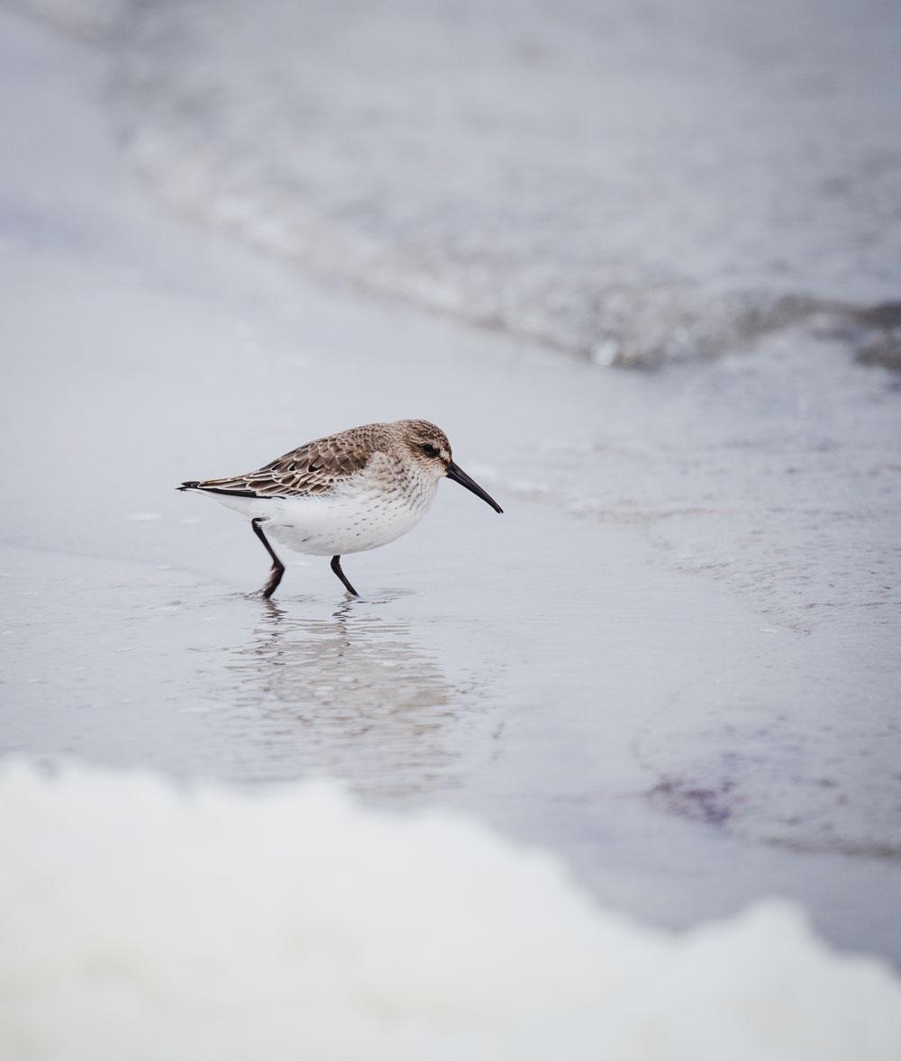 Falsterbo: Ryle i naturreservatet Måkläppen i Sverige