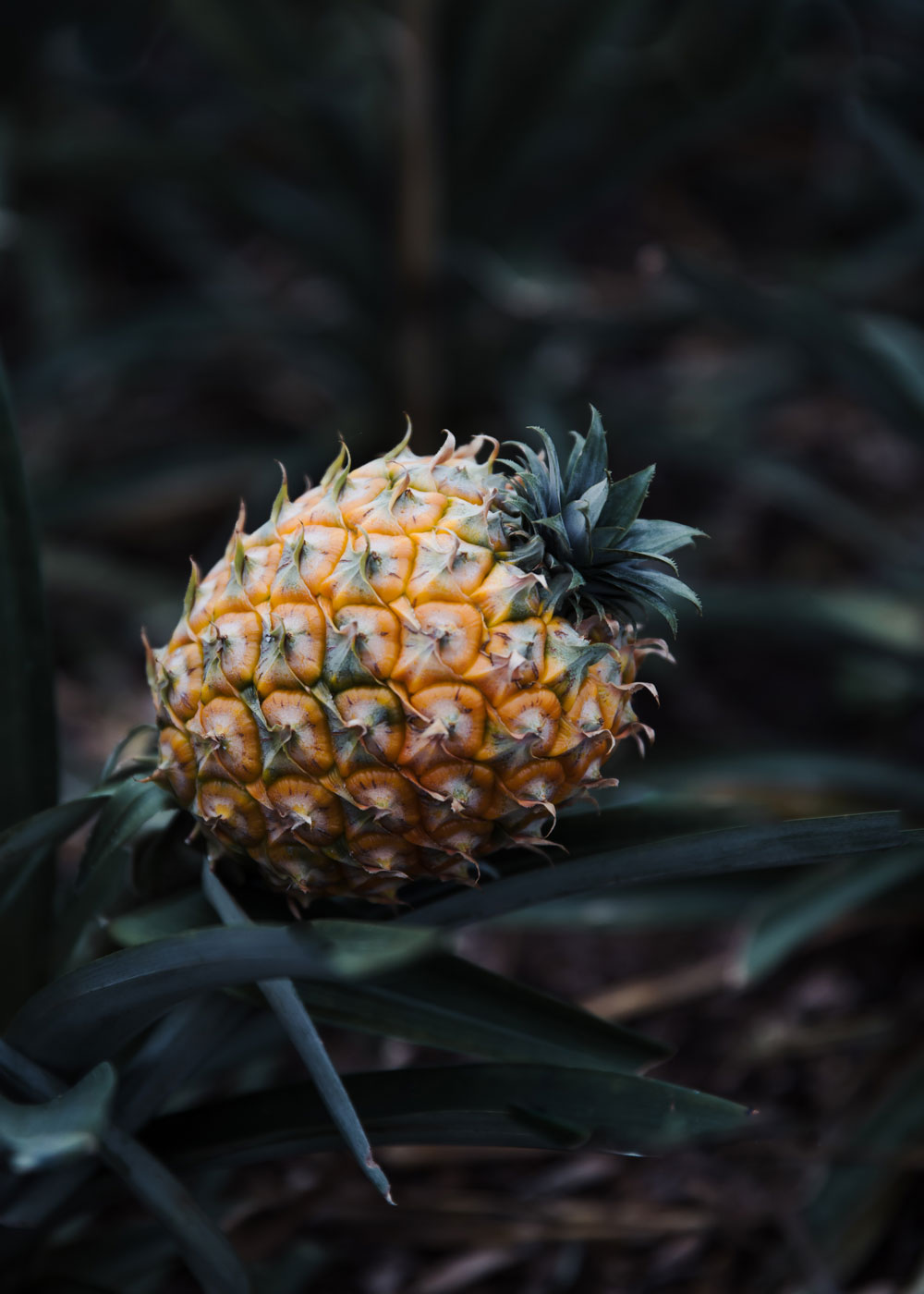 Visiting a pineapple plantation in Ponta Delgada