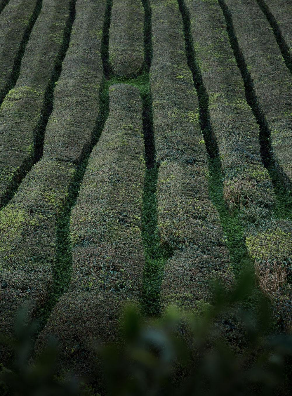 Azorerne - en rejseguide / teplantage