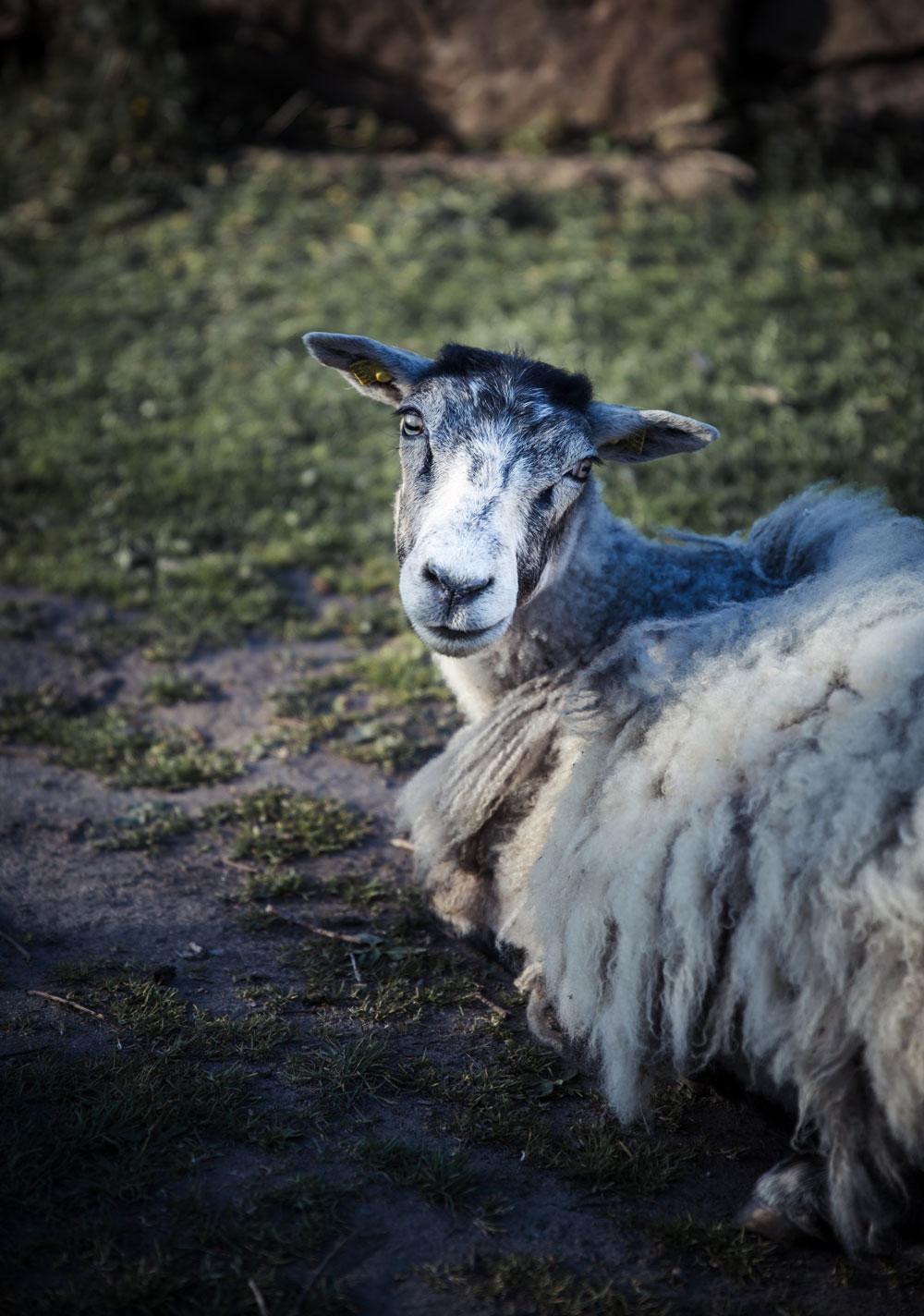 Hammerknuden Bornholm - får