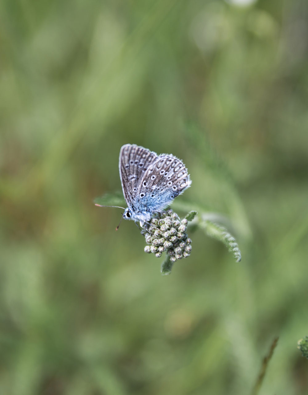Blåfugl i Hovdala naturområde