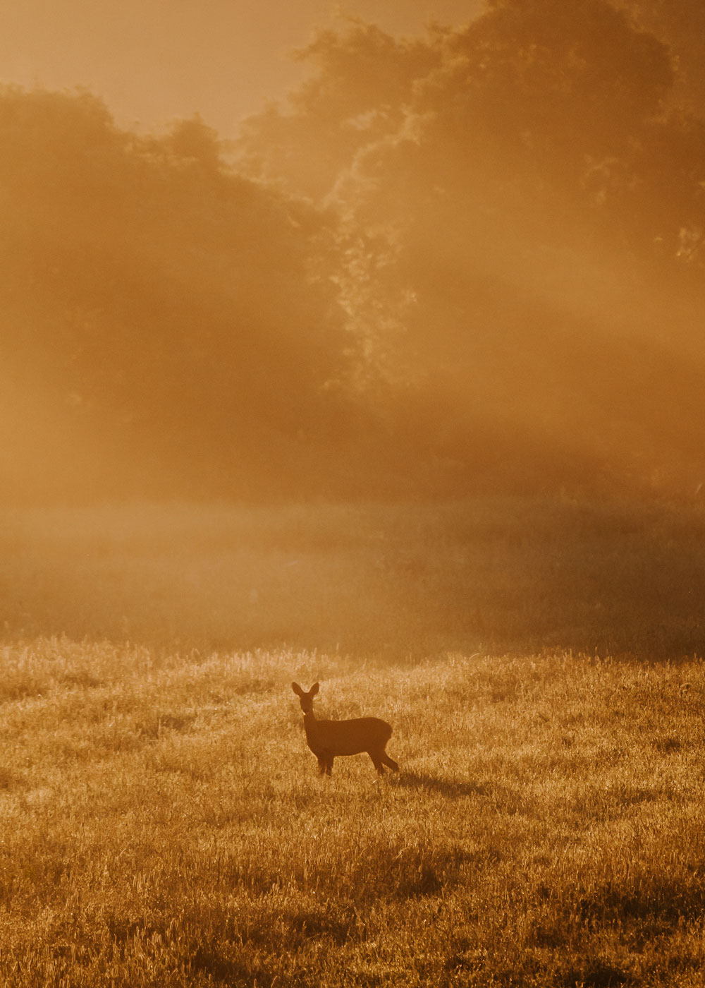 Roe deer in the morning sun