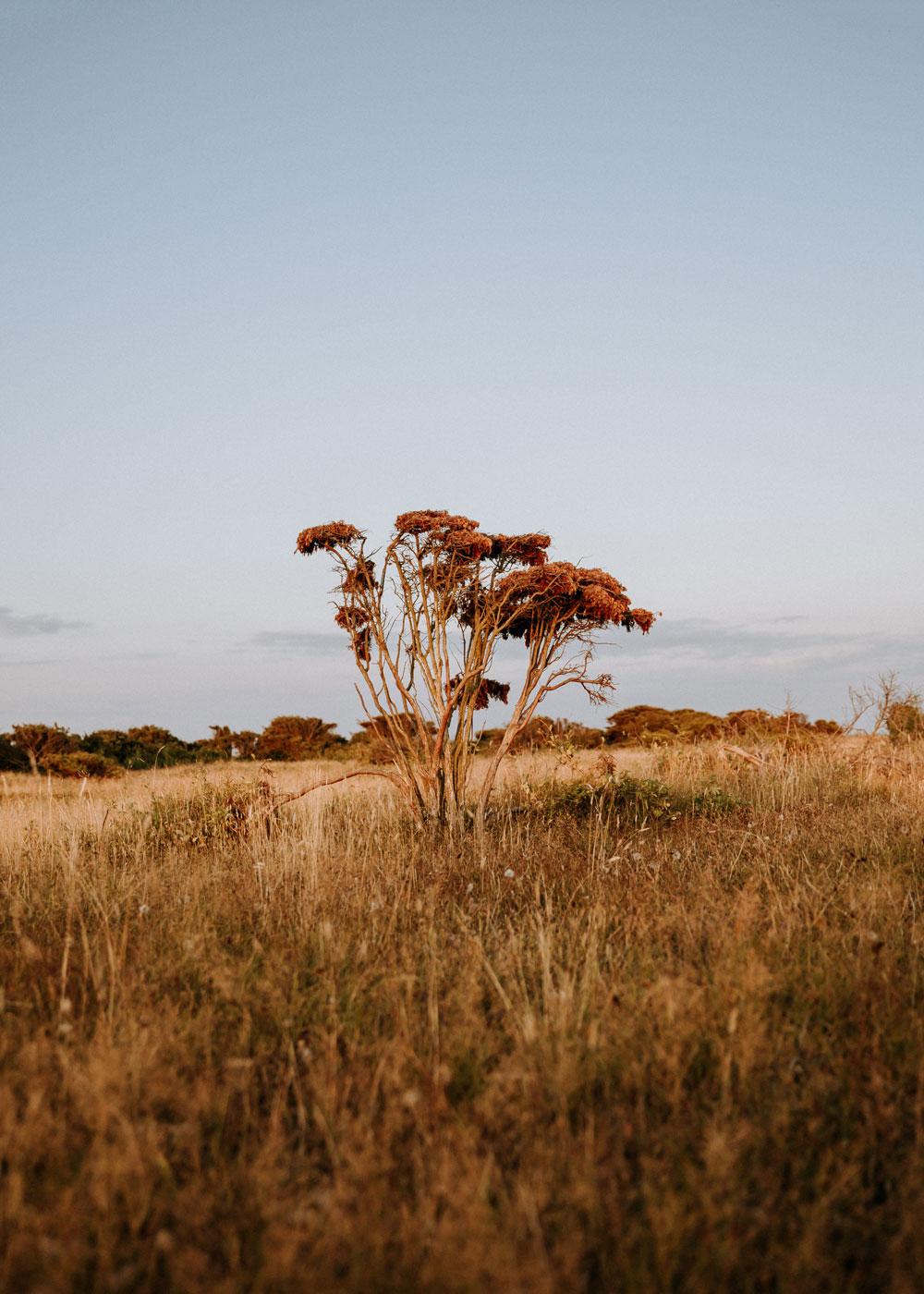Enebærbuske på Fyns største hede - Enebærodde