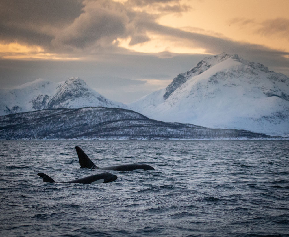 Whale safari in Tromsø / two orcas / killer whales