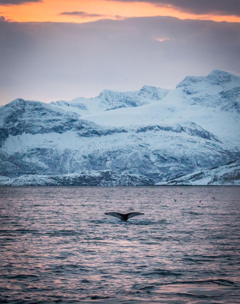 Humpback whale in Skjervøy