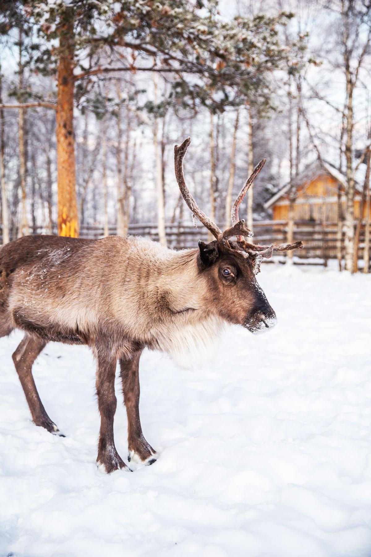 Rensdyr og samekultur hos Nutti Sami Sida