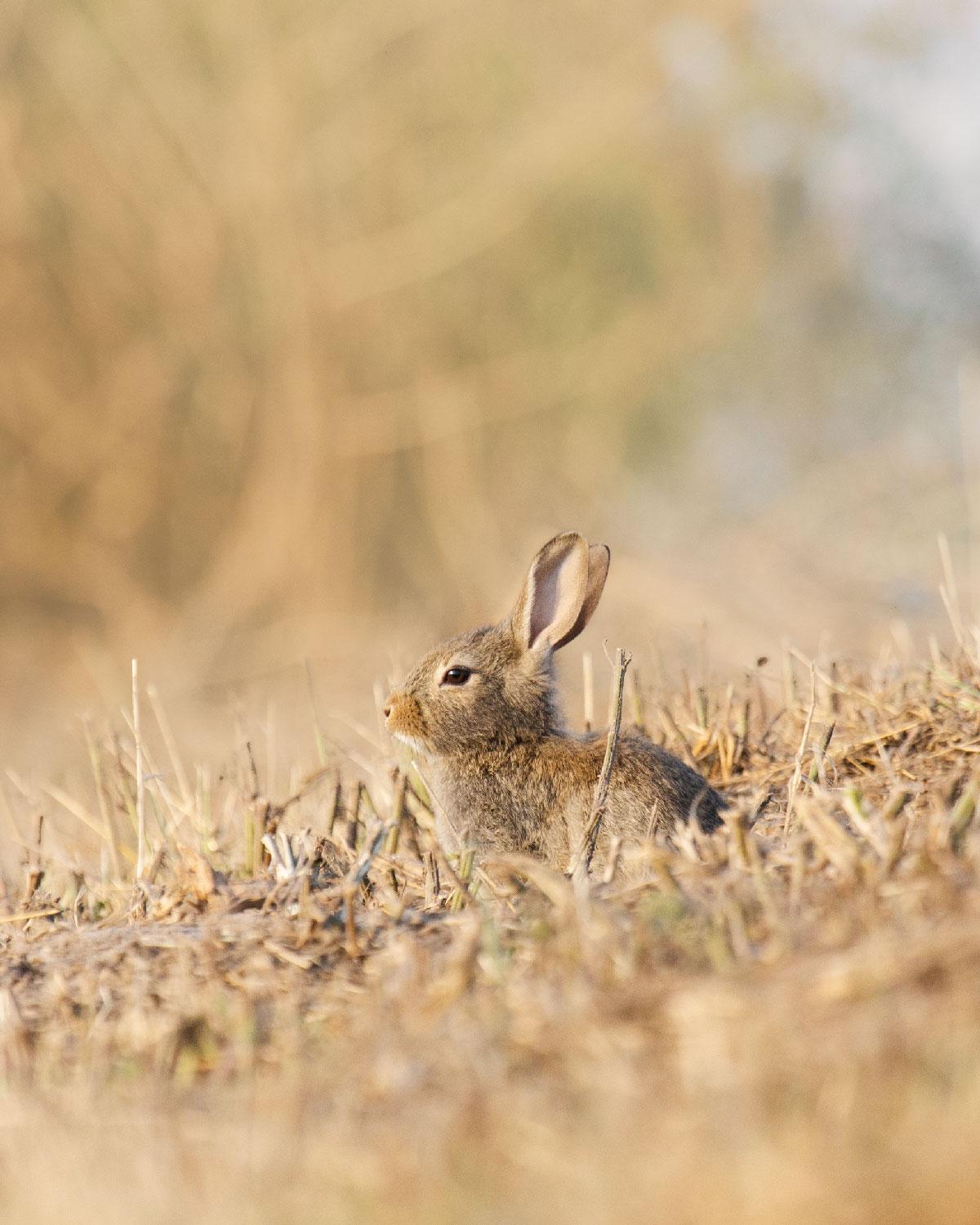Den gule Kaninrute: Sød kaninunge med pjusket pels siddende i gule halmstrå.