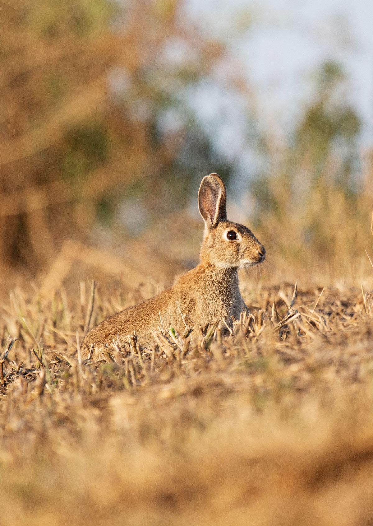Den gule Kaninrute: Vagtkanin giver signal til de andre kaniner ved at stampe i jorden.