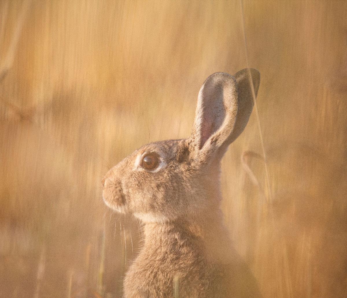 Kanin stikker hovedet op af græsset få meter fra kameraet - fra den gule Kaninrute.