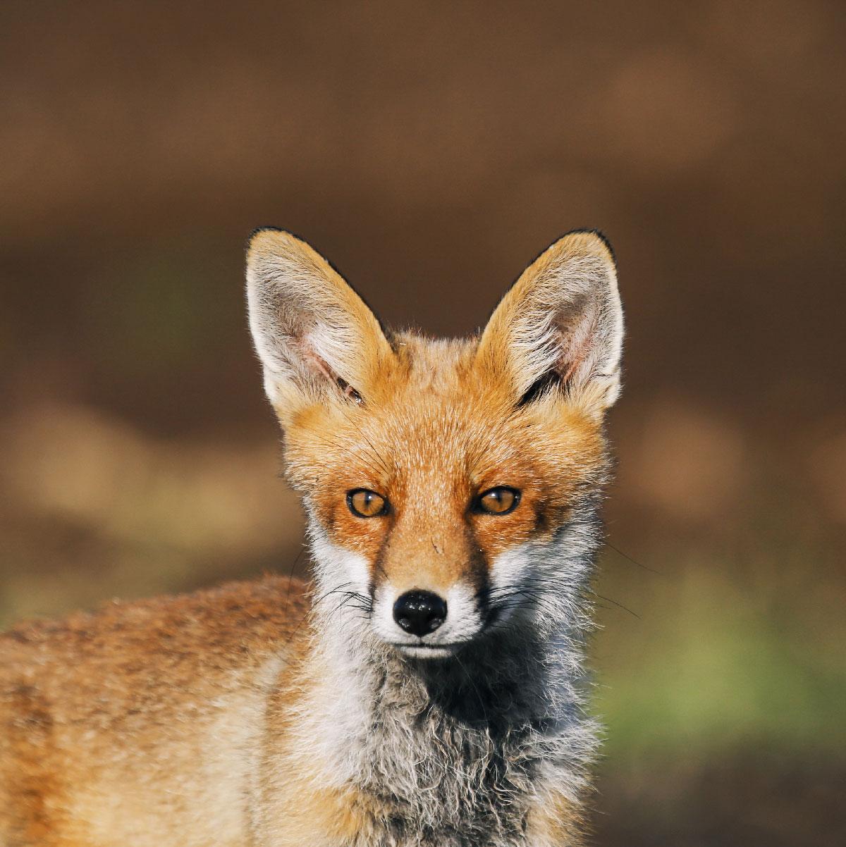 Close-up af ræv i Lille Vildmose. Den har brune øjne, hvidt bryst og rødt ansigt.
