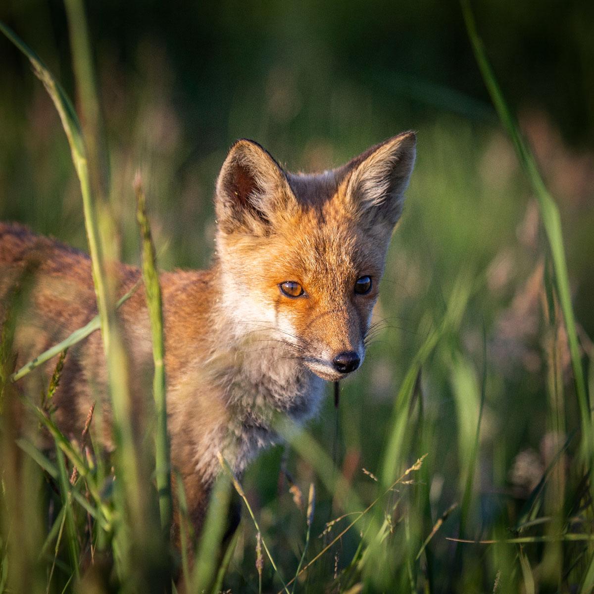 En af de nye ræveunger i Lille Vildmose. Lyset rammer den rødlige pels, og ræven gemmer sig lidt i det høje græs.