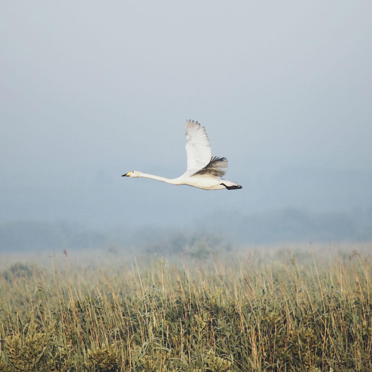 En sangsvane med gult og sort næb flyver elegant hen over landskabet i Lille Vildmose.
