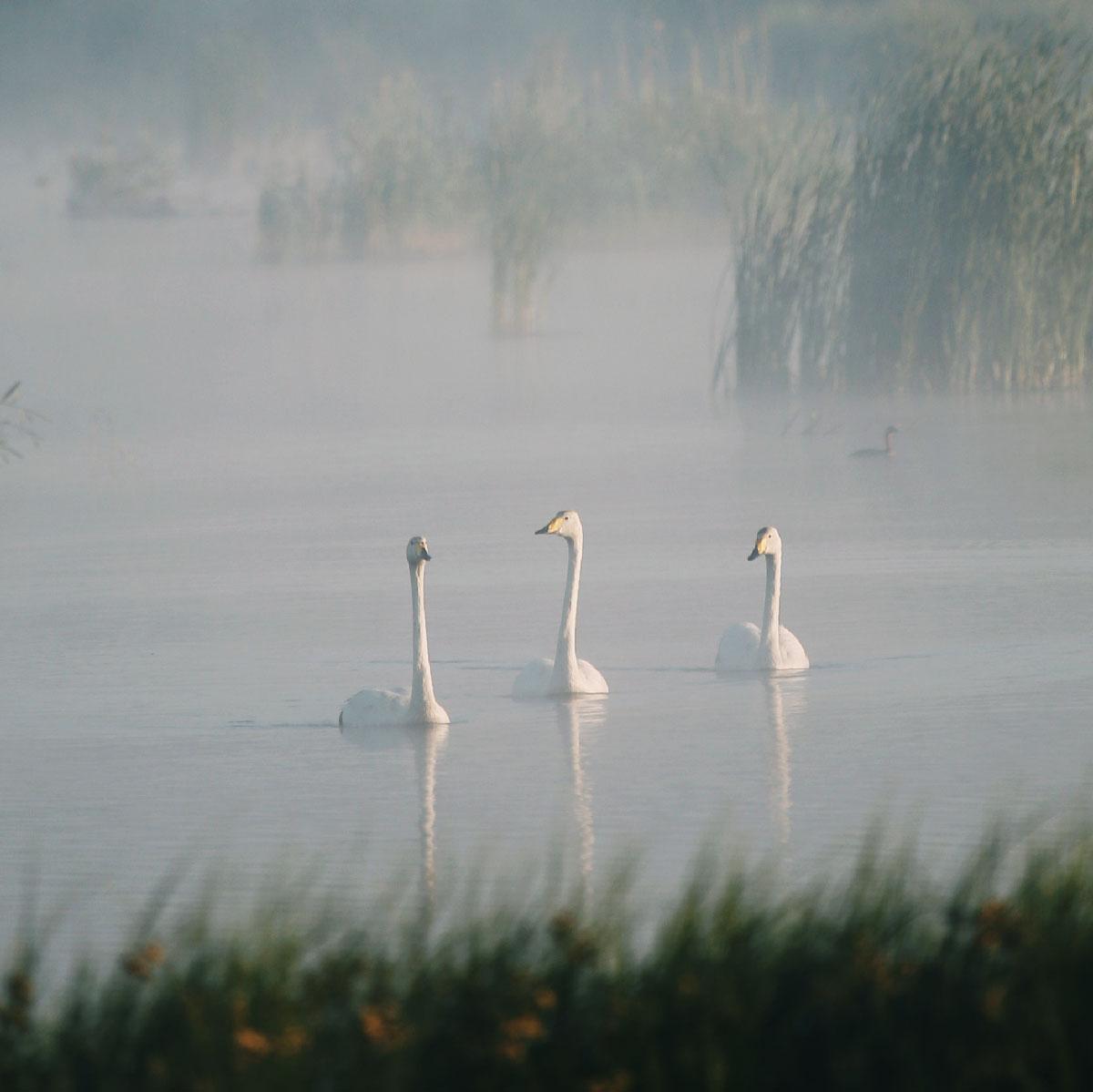 Tre sangsvaner svømmer yndigt rundt i søen i det disede lys.