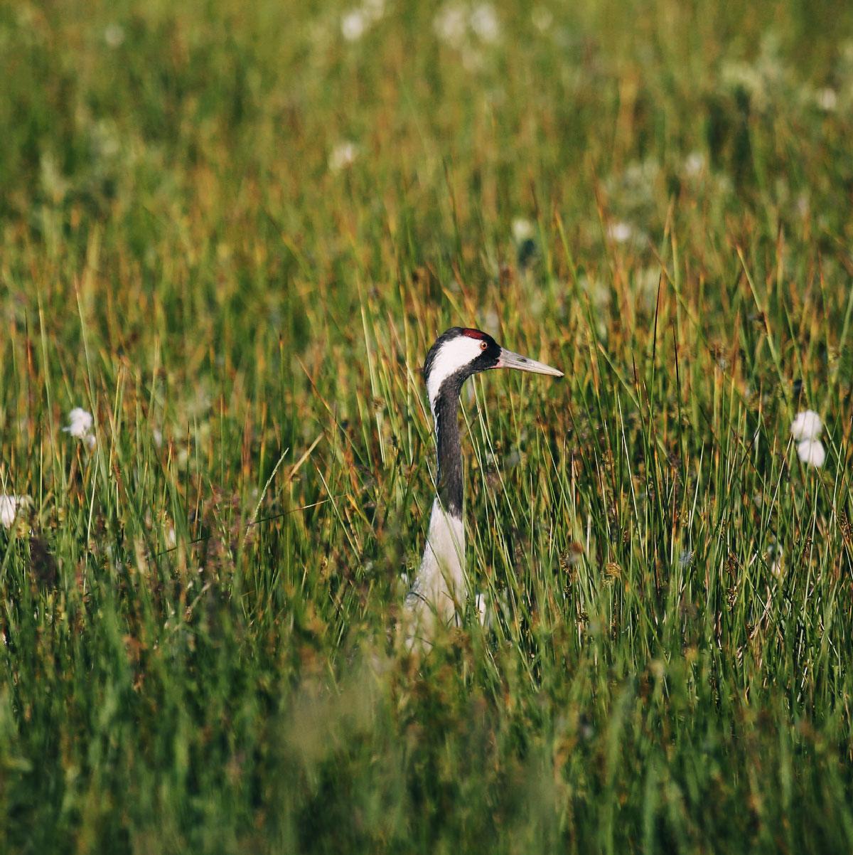 En trane titer op af græsset med dens lange hals og spidse næb.